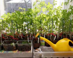 Ошибки при пикировке томатов, вынуждающие отказаться от нее