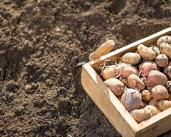 Посадка картофеля по голландской технологии — заморский опыт для вашей дачи