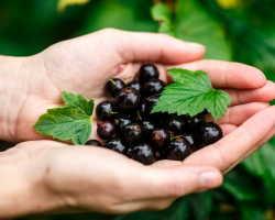 Секреты выращивания вкусной и крупной смородины