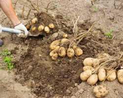 Как получить хороший урожай с семенного картофеля