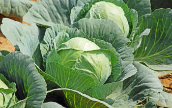 Советы по выращиванию и уходу за капустой