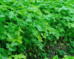 Выращивание сельдерея