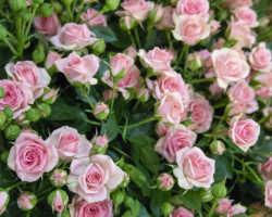 Уход за розовыми кустами в середине лета