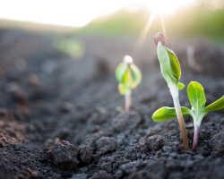 Почему не рекомендуется после посева поливать семена