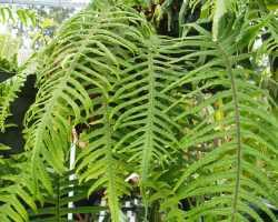 Рекомендации по выращиванию полиподиума