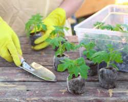 Как высаживать и поливать томаты, чтобы без хлопот получать высокий урожай