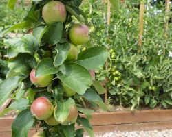 Колоновидные яблони — обрезка кроны в борьбе за урожай