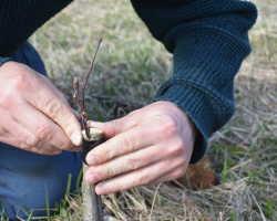 Прививаем плодовые деревья самостоятельно: материалы и инструменты для работы