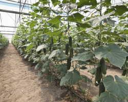 Выращивание огурцов на шпалерах