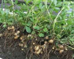 Как вырастить земляной орех – арахис