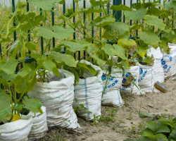 Успешное выращивание огурцов — удачное соседство
