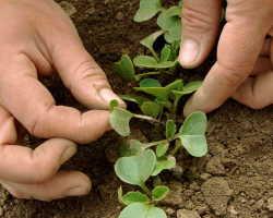 Выращивание ранней редиски весной без всякой «химии»