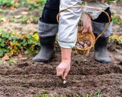 Предшественники чеснока под зиму – после кого лучше садить озимый чеснок?