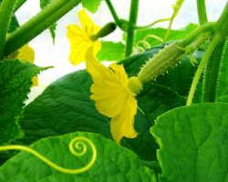 Формируем огурцы: что отрезать, чтобы повысить урожайность