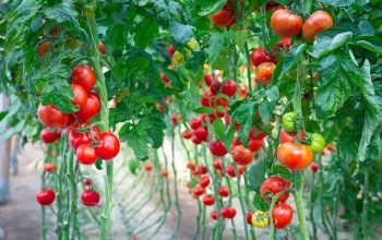 12 лучших сортов сладких помидоров. Советуют коллекционеры
