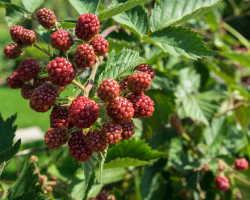 Собираем двойной урожай ягод за сезон