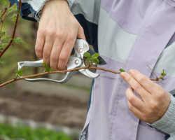 Обрезка малины весной — инструкции для начинающих