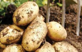 Из всех раннеспелых сортов предпочитаю выращивать картофель Винета. Рассказываю, чем он выделяется на фоне других и как с ним правильно обращаться