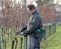 Как проводится обрезка винограда весной?