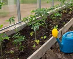 Как часто следует поливать томаты