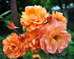 Королевы сада: 7 лучших сортов чайно-гибридных роз