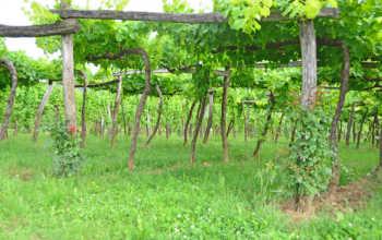 Предзимняя подготовка винограда