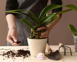 Полив орхидеи после пересадки – чего не стоит делать?