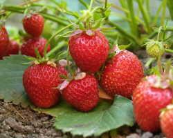 Малоизвестные факты о клубнике — познакомьтесь с сочной ягодой поближе