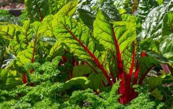 Выращивание и сбор урожая свеклы