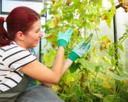 Почему желтеют листья у огурцов в теплице, и что с этим делать