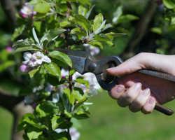 Обрезка яблони весной – простая схема