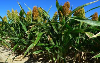 Выращивание сахарного сорго: посадка и уход