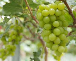 Схема обработки винограда – используем медный и железный купоросы