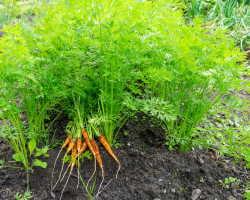 Раскрываю секрет получения раннего урожая Моркови. Надо всего лишь сажать ее под зиму и соблюдать простые правила