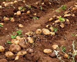 Что хорошо растет на грядке после картофеля