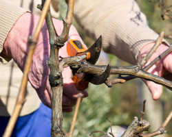 Обрезка винограда осенью и подготовка куста к заморозкам