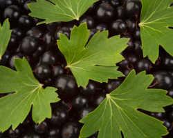 Чем я подкармливаю осенью мои кусты черной Смородины, чтобы они были здоровыми и хорошо плодоносили