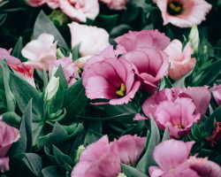 Капризная красавица эустома — любимица японцев. Проявив усердие и терпение, можно получить прекрасное растение