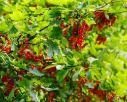 Как добиться урожая смородины с помощью соды
