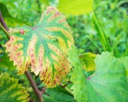 Антракноз винограда — лечение и профилактика опасного грибка
