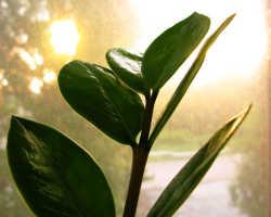 Как цветёт тропический замиокулькас — «цветок безбрачия»