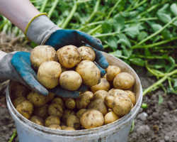 Спасаем картофель от жары и засухи