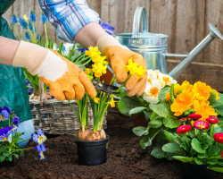 Вестники весны. Нарциссы: посадка и уход