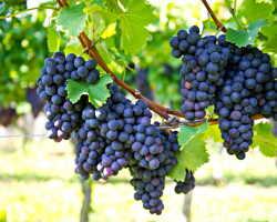 Методы осуществления подкормки винограда весной и осенью