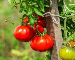 Почему не существует сортов помидоров, которые дают хороший урожай без ухода за ними
