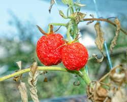 Чего не хватает томатам — определяем безошибочно