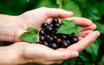 Черная смородина — самые сладкие сорта