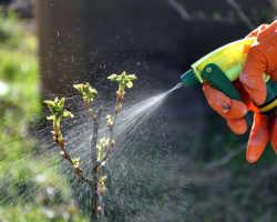 Как вылечить крыжовник от мучнистой росы
