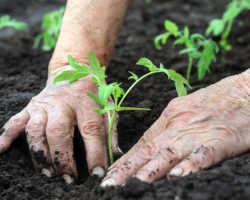 Гарантия урожая томатов: секретный способ посадки кустов