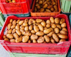 Выбор удобрений для получения высокого урожая картофеля